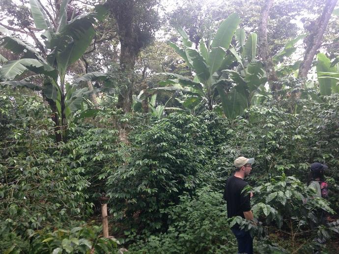 Azot bağlayıcı Trema taç katmanının altında muz ve kahve ağaçları. Veracruz, Meksika.