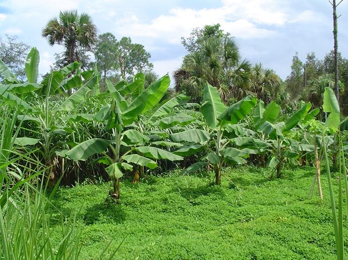 Altlarında azot bağlayıcı, gölge seven çokyıllık yerfıstığı katmanı bulunan muz ağaçları. ECHO, Florida, ABD.