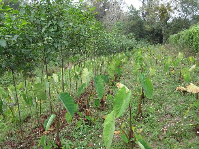 Aralarına tekyıllıkların (burada bir kök bitkisi olan taro ekili) yerleştirildiği kontur hattına dikilmiş kızılağaç sıraları. Las Canadas, Veracruz, Meksika.