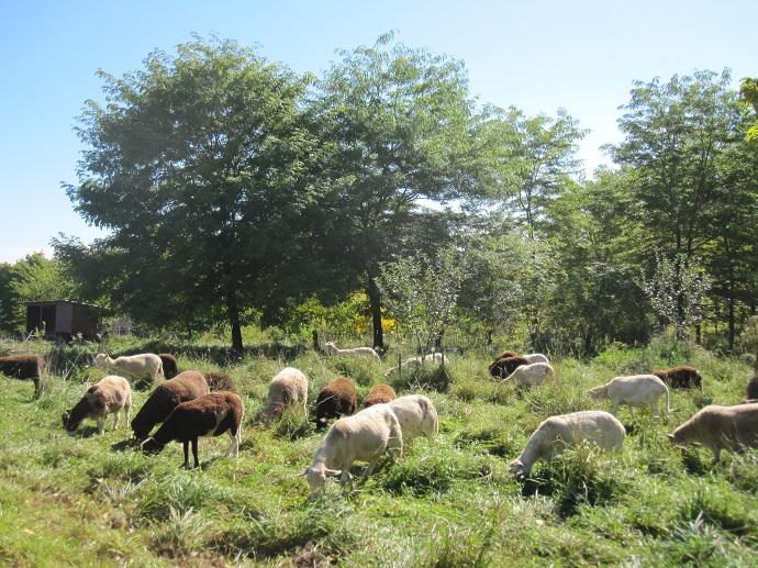 Koyunlar gladiçya, kara ceviz, cennet elması, dut, ayva gibi tarımsal ormancılık ağaçlarının alt zeminindeki ot-üçgül çayırlığında otlamakta. Heifer Overlook Farm, Massachusetts, ABD.