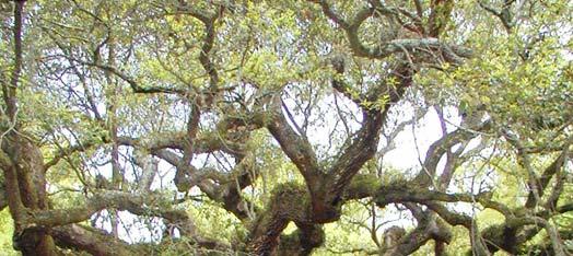 PDP_Angel_Oak_Tree_Quercus_virginiana