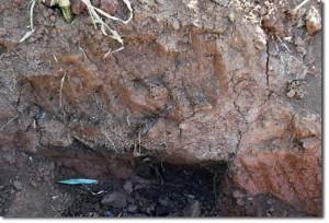 Üst toprak katmanındaki siyah noktalar komposttur, daha derindeki (köklerin civarındaki koyu siyah benekler) 70 cmdeki tavuk gübresi katmanı ve anaerobik bakterileri içerir.