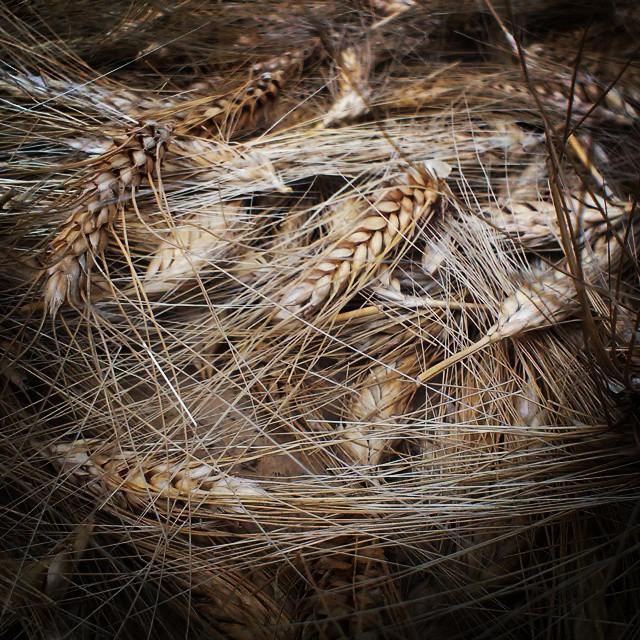 Buğday üretiminde Bonfils Yöntemi